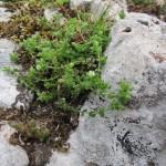 Arenaria serpyllifolia - Cannington Park SS2440 (GL)