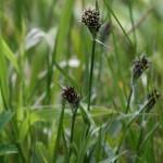 Luzula multiflora - Great Breach Wood - 9 May 15 (CHS)