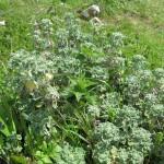 Marrubium vulgare (GL)