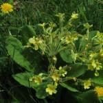 Primula x polyantha - Great Breach Wood (ITS)