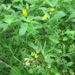 Ranunculus auricomus - Cannington Park ST 2440 (GL)