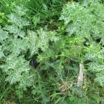 Ranunculus parviflorus & Silybum marianum - Cannington Park (RFG)