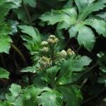 Sanicula europaea - Prior's Wood (ITS)