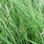 Carex acutiformis - Fairfield Estate (GL)