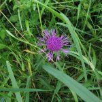 Centaurea nigra - Fairfield Estate (ITS)