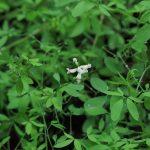Ceratocapnos claviculata - Durborough (ITS)