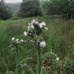Cirsium palustre (white form) - Durborough (ITS)