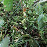 Crassula helmsii - Clatworthy (ITS)