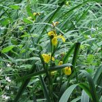Iris pseudacorus - Fairfield Estate (ITS)