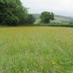 Leontodon hispidus (field) - Durborough (RFitzG)