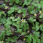 Ranunculus hederaceus - Durborough (ITS)