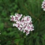 Valeriana officinalis - Clatworthy (ITS)