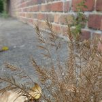 Catapodium rigidum subsp majus - Brent Knoll (HJC)