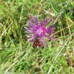 Centaurea nigra - Brent Knoll ST3450 (ITS)