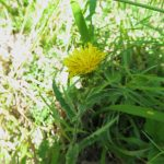 Picris hieracioides - Brent Knoll ST3351 (ITS)