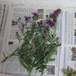 centaurea-nigra-daisy-workshop-its