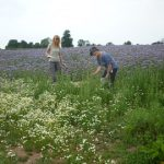 surveying-in-the-phacelia-field-north-petherton-gr